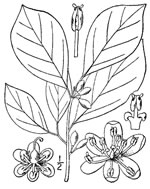 picture of Lindera benzoin, image of Lindera benzoin var. benzoin, photograph of Lindera benzoin