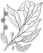 picture of Lindera melissifolia, image of Lindera melissifolia, photograph of Lindera melissaefolium