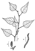 picture of Betula populifolia, image of Betula populifolia, photograph of Betula populifolia