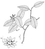 picture of Berchemia scandens, image of Berchemia scandens, photograph of Berchemia scandens
