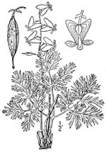picture of Dicentra cucullaria, image of Dicentra cucullaria, photograph of Dicentra cucullaria