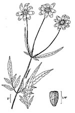 picture of Bidens mitis, image of Bidens mitis, photograph of Bidens mitis