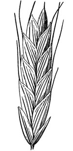 picture of Bromus commutatus, image of Bromus racemosus, photograph of Bromus commutatus