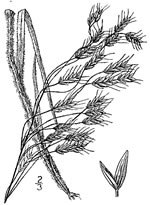 picture of Bromus japonicus, image of Bromus arvensis, photograph of Bromus japonicus