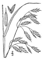 picture of Bromus secalinus, image of Bromus secalinus, photograph of Bromus secalinus