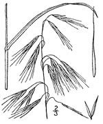 picture of Bromus sterilis, image of Bromus sterilis, photograph of Bromus sterilis