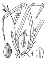 picture of Carex abscondita, image of Carex abscondita, photograph of Carex abscondita