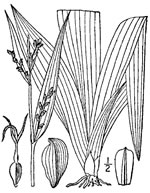 picture of Carex albursina, image of Carex albursina, photograph of Carex albursina