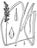 picture of Carex annectens, image of Carex annectens, photograph of Carex annectens