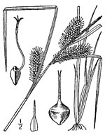picture of Carex baileyi, image of Carex baileyi, photograph of Carex baileyi