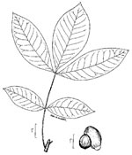 picture of Carya glabra, image of Carya glabra, photograph of Carya glabra