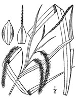 picture of Carex gynandra, image of Carex gynandra, photograph of Carex crinita var. gynandra