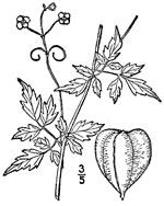 picture of Cardiospermum halicacabum, image of Cardiospermum halicacabum, photograph of Cardiospermum halicacabum