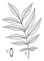 picture of Carya illinoinensis, image of Carya illinoinensis, photograph of Carya illinoensis