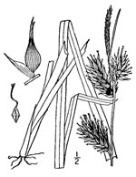 picture of Carex lupulina, image of Carex lupulina, photograph of Carex lupulina