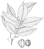 picture of Carya myristiciformis, image of Carya myristiciformis, photograph of Carya myristicaeformis