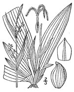 picture of Carex platyphylla, image of Carex platyphylla, photograph of Carex platyphylla