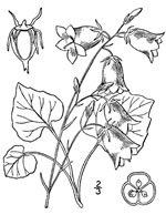 picture of Campanula rotundifolia, image of Campanula rotundifolia, photograph of -
