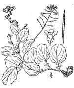 picture of Cardamine rotundifolia, image of Cardamine rotundifolia, photograph of Cardamine rotundifolia