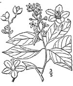 picture of Celastrus scandens, image of Celastrus scandens, photograph of Celastrus scandens