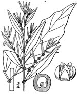 picture of Dysphania ambrosioides, image of Dysphania ambrosioides, photograph of Chenopodium ambrosioides
