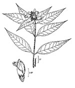 picture of Chelone glabra, image of Chelone glabra, photograph of Chelone glabra