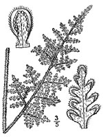 picture of Myriopteris tomentosa, image of Cheilanthes tomentosa, photograph of Cheilanthes tomentosa