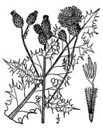 picture of Cirsium arvense, image of Cirsium arvense, photograph of Carduus arvensis