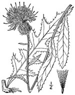 picture of Cirsium virginianum, image of Cirsium virginianum, photograph of Carduus virginianus