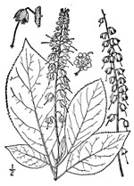 picture of Clethra acuminata, image of Clethra acuminata, photograph of Clethra acuminata