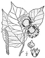 picture of Corylus americana, image of Corylus americana, photograph of Corylus americana