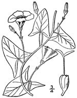 picture of Convolvulus arvensis, image of Convolvulus arvensis, photograph of Convolvulus arvensis
