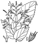 picture of Collinsonia canadensis, image of Collinsonia canadensis, photograph of Collinsonia canadensis