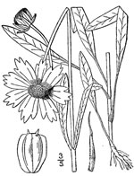 picture of Coreopsis lanceolata, image of Coreopsis lanceolata, photograph of Coreopsis lanceolata