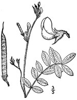 picture of Tephrosia spicata, image of Tephrosia spicata, photograph of Tephrosia spicata