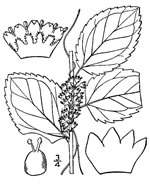 picture of Cuscuta coryli, image of Cuscuta coryli, photograph of Cuscuta corylii