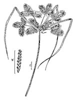 picture of Cyperus erythrorhizos, image of Cyperus erythrorhizos, photograph of Cyperus erythrorhizos