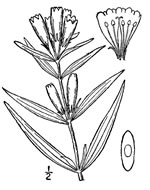 picture of Gentiana linearis, image of Gentiana linearis, photograph of -