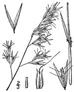 picture of Danthonia sericea, image of Danthonia sericea, photograph of Danthonia sericea var. sericea