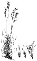 picture of Danthonia spicata, image of Danthonia spicata, photograph of Danthonia spicata