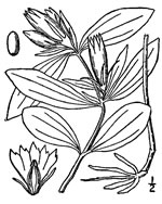 picture of Gentiana villosa, image of Gentiana villosa, photograph of Gentiana villosa