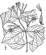 picture of Diervilla lonicera, image of Diervilla lonicera, photograph of Diervilla lonicera
