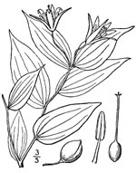 picture of Prosartes lanuginosa, image of Prosartes lanuginosa, photograph of Disporum lanuginosum