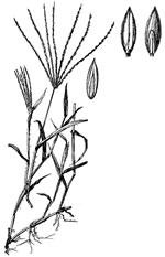 picture of Digitaria sanguinalis, image of Digitaria sanguinalis, photograph of Digitaria sanguinalis