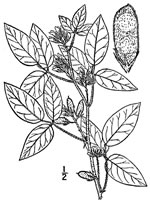 picture of Rhynchosia tomentosa, image of Rhynchosia tomentosa var. tomentosa, photograph of Rhynchosia tomentosa