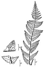 picture of Dryopteris cristata, image of Dryopteris cristata, photograph of Dryopteris cristata