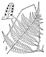picture of Coryphopteris species 1, image of Thelypteris simulata, photograph of -