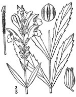picture of Physostegia virginiana ssp. virginiana, image of Physostegia virginiana ssp. virginiana, photograph of Dracocephalum virginianum