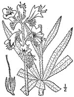 picture of Echium vulgare, image of Echium vulgare, photograph of Echium vulgare