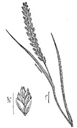 picture of Elymus repens, image of Elymus repens, photograph of Agropyron repens